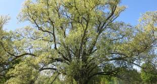 Piemonte, alberi monumentali: convegno a Torino il 3 maggio