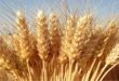 Foggia, evento sul mercato del grano duro