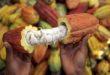 Firenze, ai Georgofili convegno sul cacao