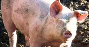 Sardegna: il punto sulla lotta alla peste suina