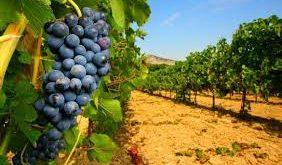 Molise, finanziamenti per il settore vitivinicolo