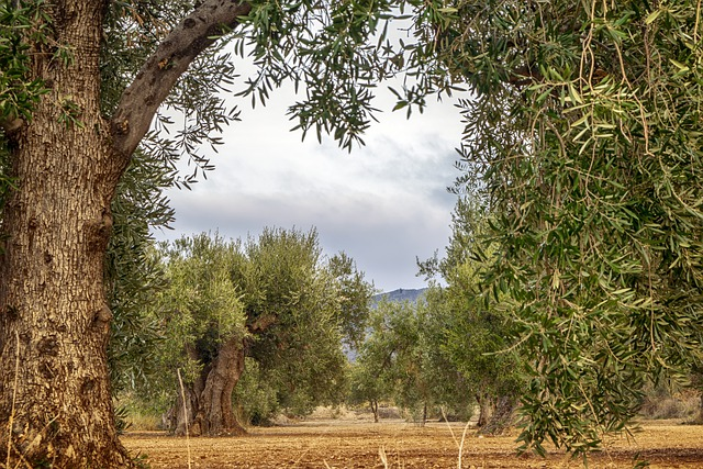 olivico